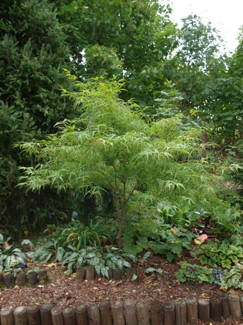 Acer palmatum 'Koto-no-ito'
