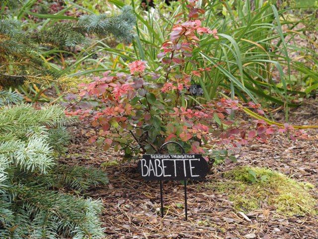 Berberis thunbergii 'Babette'