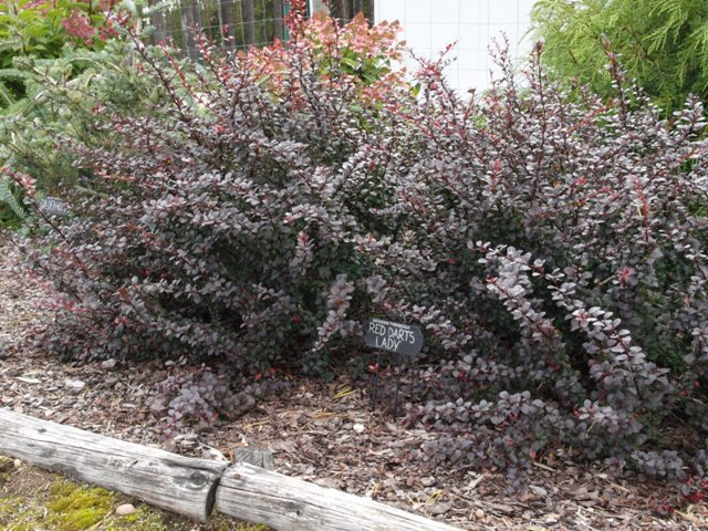 Berberis thunbergii 'Dart's Red Lady'