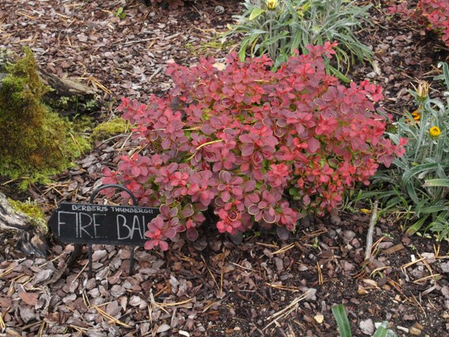 Berberis thunbergii 'Fire Ball®'