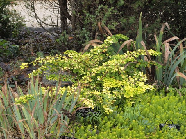 Berberis thunbergii 'Golden Carpet®'