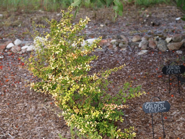 Berberis thunbergii 'Golden Dream®'