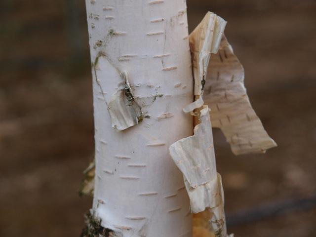 Betula utilis var. jacquemontii 'Doorenbos'