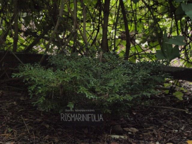 Buxus sempervirens 'Rosmarinifolia'
