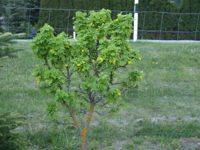 Caragana arborescens 'Eddy'