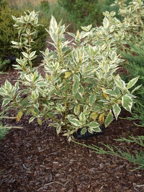 Cornus sericea (C. stolonifera) 'White Gold'