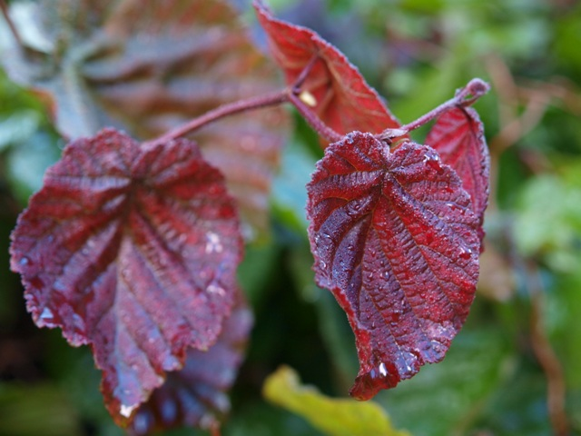 Corylus avellana 'Red Majestic®'