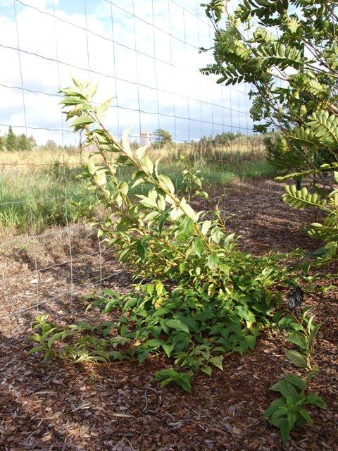 Forsythia viridissima var.koreana 'Kumson'