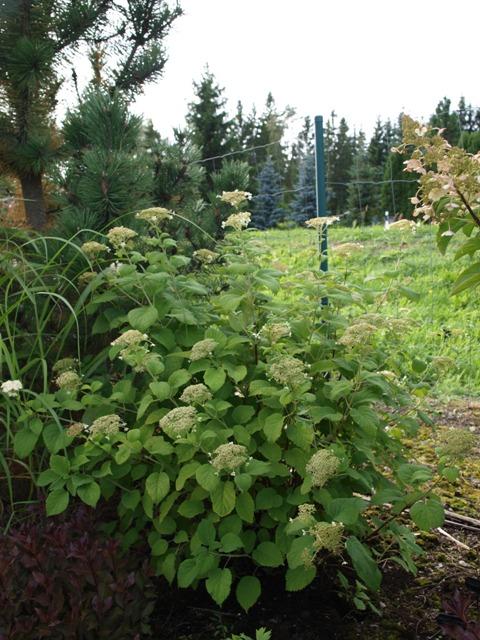 Hydrangea arborescens 'Astrid Lindgren'