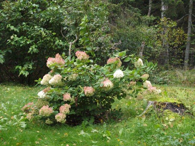Hydrangea paniculata 'Bombshell®'