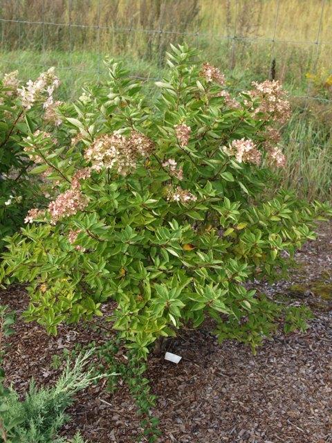 Hydrangea paniculata 'Harry's Souvenir'