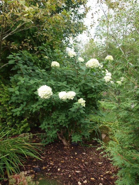 Hydrangea paniculata 'Limelight®'