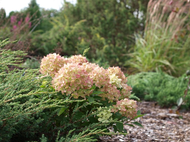 Hydrangea paniculata 'Little Lime®'