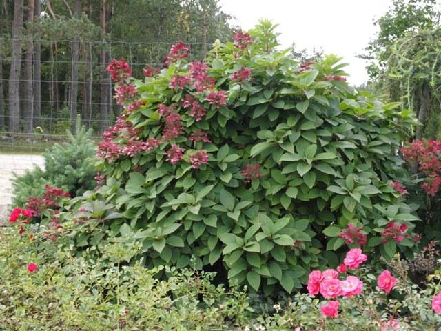 Hydrangea paniculata 'Magical Flame®'