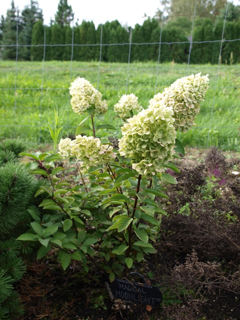 Hydrangea paniculata 'Magical Moonlight®'