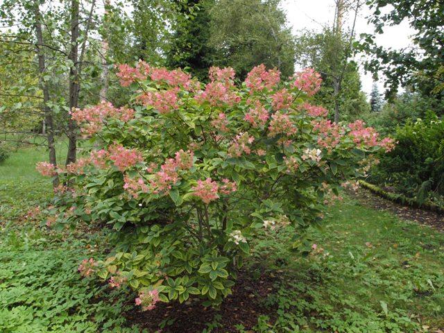 Hydrangea paniculata 'Pink Veil'