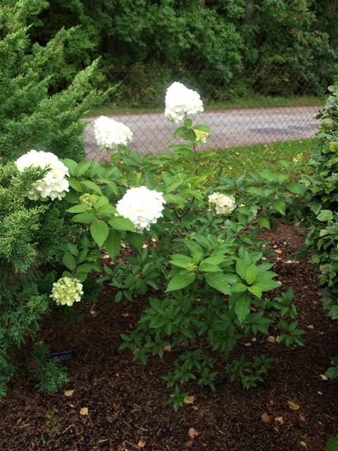 Hydrangea paniculata 'Polar Bear®'