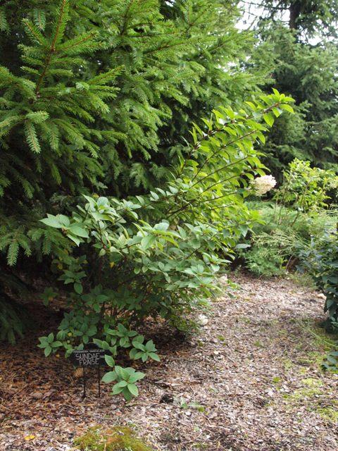 Hydrangea paniculata 'Sundae Fraise®'