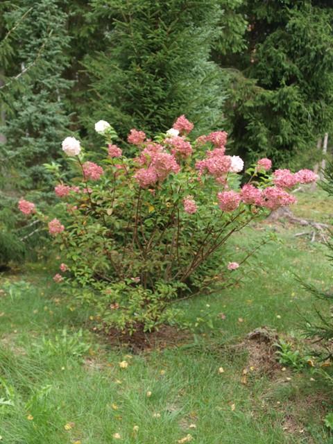 Hydrangea paniculata 'Vanille Fraise®'