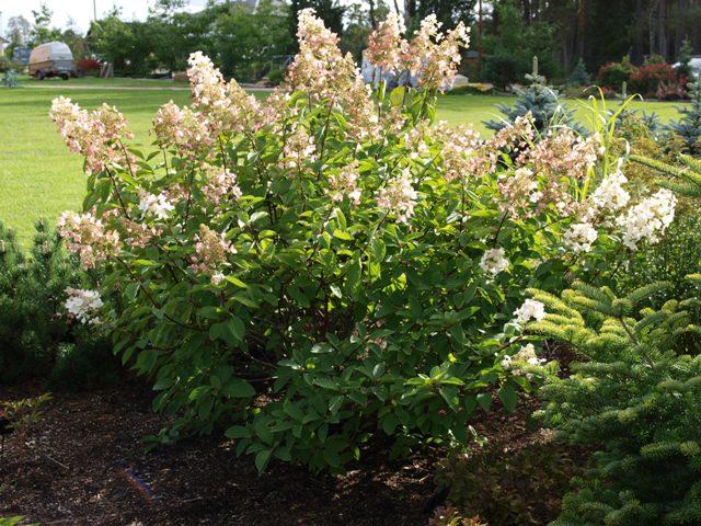 Hydrangea paniculata 'White Tiara'