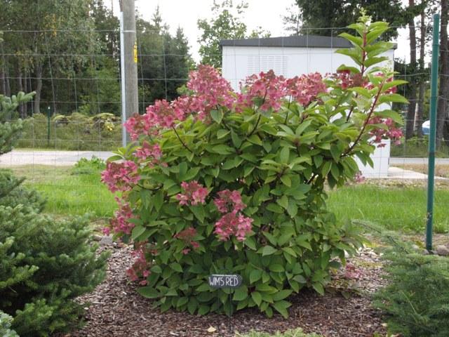 Hydrangea paniculata 'Wim's Red®'