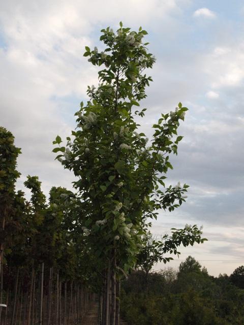 Prunus padus 'Watereri'