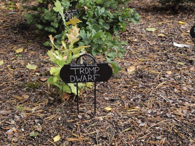 Quercus robur 'Tromp Dwarf'