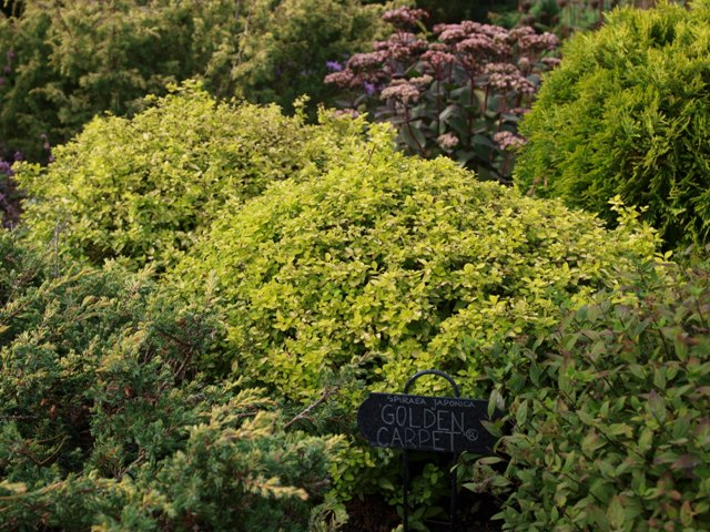 Spiraea japonica 'Golden Carpet'