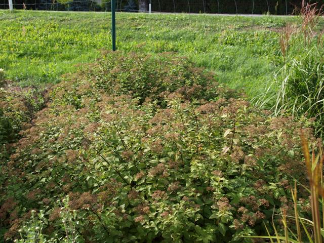 Spiraea japonica 'Pruhoniciana'