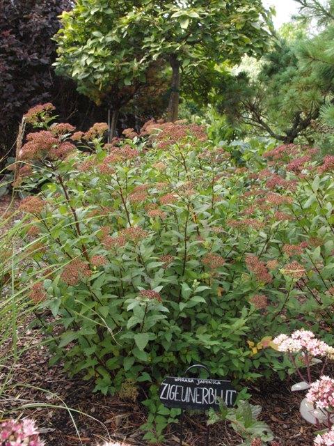 Spiraea japonica 'Zigeunerblut'