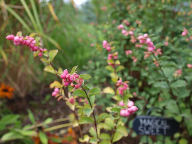 Symphoricarpos x doorenbosii 'Magical Sweet®'
