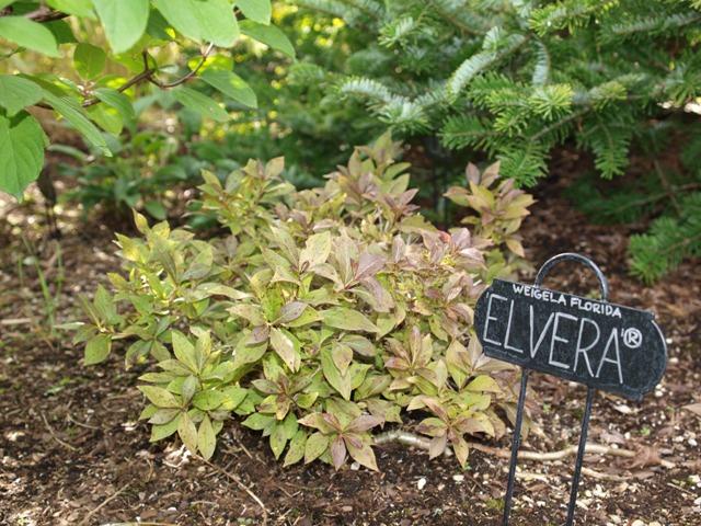 Weigela florida 'Elvera®'