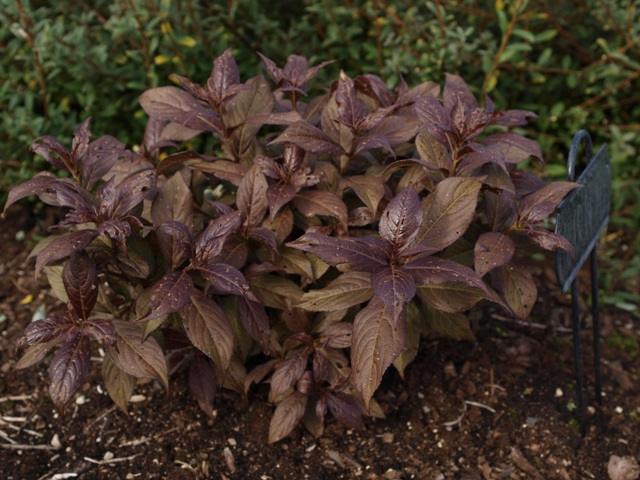 Weigela florida 'Minor Black®'