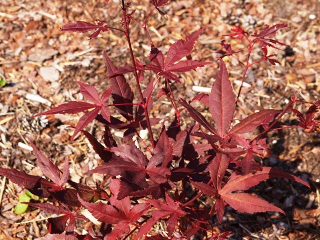 Acer palmatum 'Shojo'