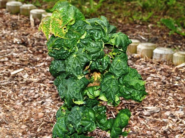 Acer platanoides 'Beskid'