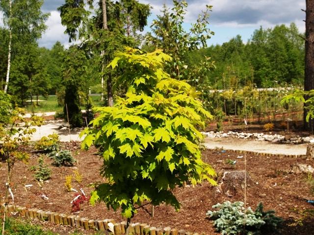 Acer platanoides 'Gurba'