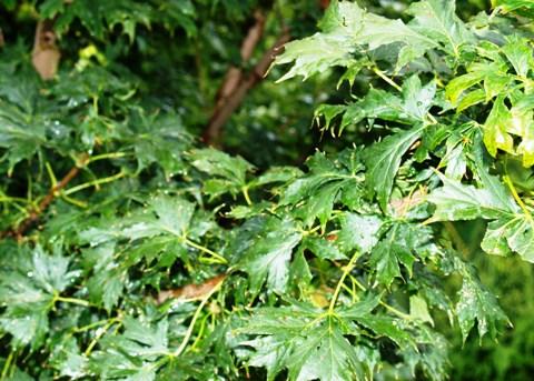Acer platanoides 'Lorbergii'