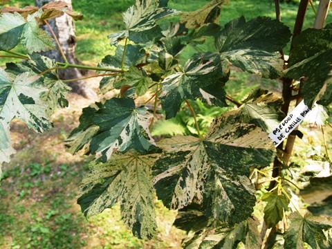 Acer pseudoplatanus 'Prinz de Camille Rohan'