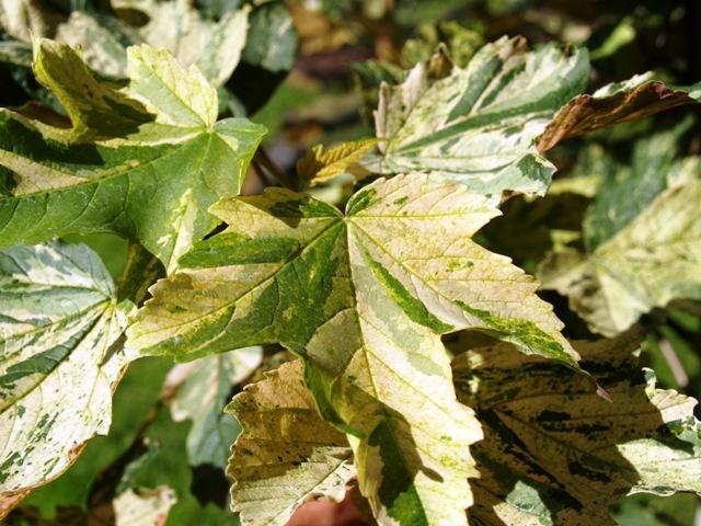Acer pseudoplatanus 'Simon-Louis Freres'