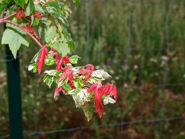 Acer rubrum 'Candice Ice'