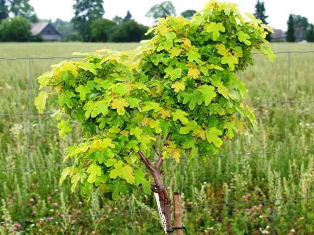 Acer saccharinum 'Eschrich Dwarf'