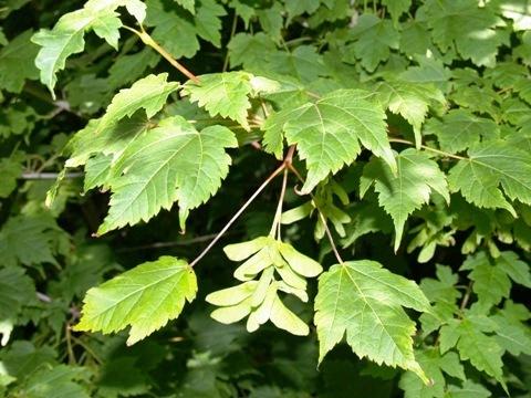 Acer barbinerve