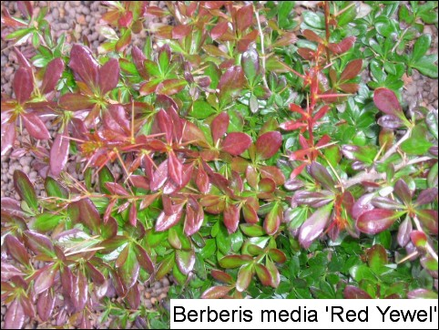 Berberis x media 'Red Jewel'