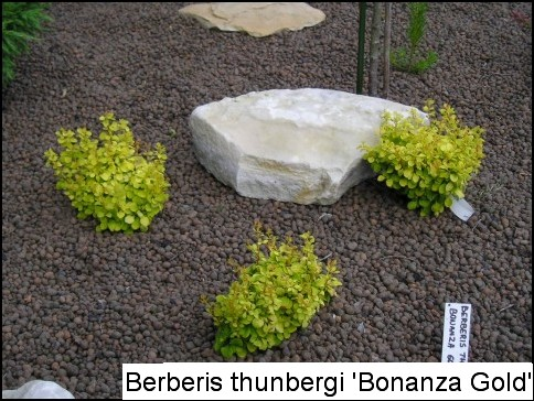 Berberis thunbergii 'Bonanza Gold®'