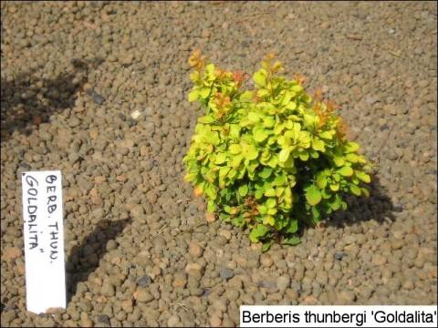Berberis thunbergii 'Goldalita'