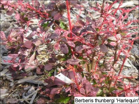 Berberis thunbergii 'Harlequin'