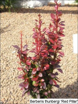 Berberis thunbergii 'Red Pillar'