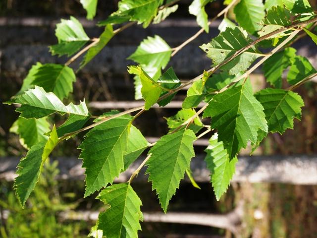 Betula nigra 'Fox Valley'