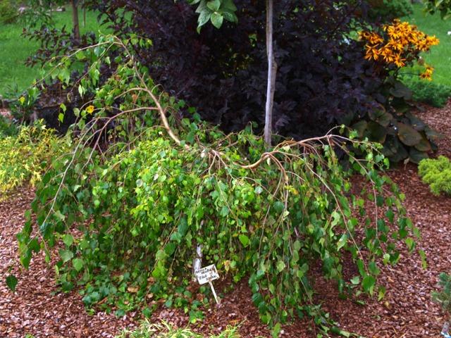 Betula pendula 'Zöld Szakal'