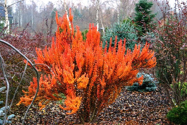 Berberis thunbergii 'Green Column'